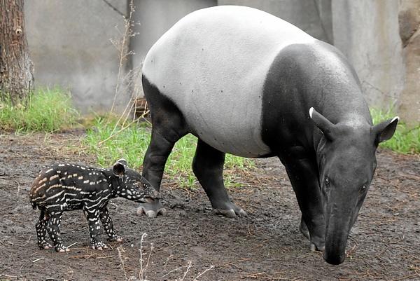 Tapirweibchen_Laila_mit_Nachwuchs_Zoo_Leipzig
